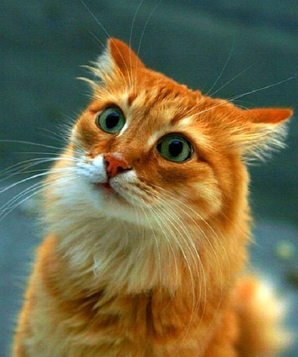 Смешные картинки с рыжими кошками