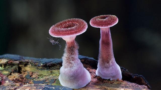 Marasmius haematocephalus