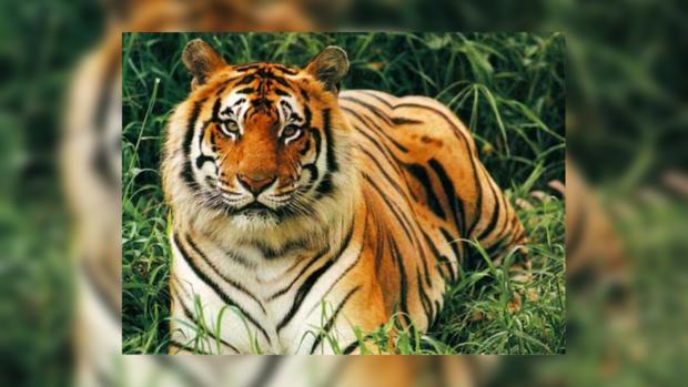Смелая американка не растерялась встретив тигра в уборной