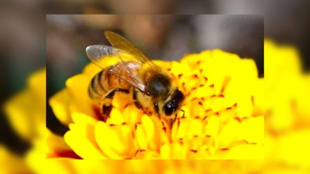 Пчелы - прогрессивное средство в разминировании