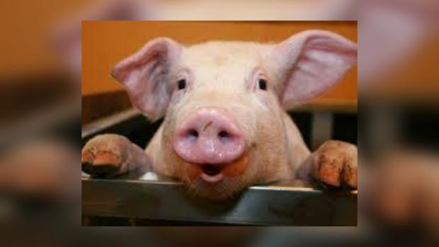 Африканская чума украинским свиньям пока не грозит