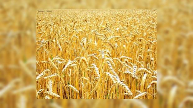 Хороших урожаев в этом году аграрии не ждут
