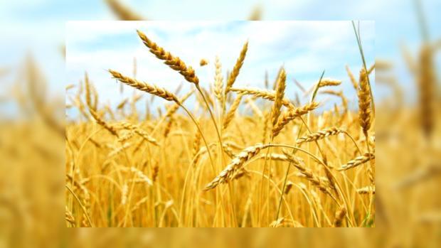 Украина в 2013 году может получить хороший урожай зерновых