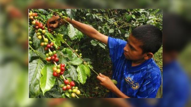Кофе является одним из исчезающих видов растений