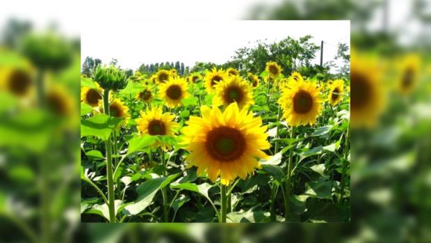 Украина в 2013 году экспортирует больше семян и подсолнечного масла