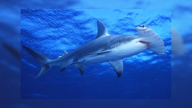 Акула-лопата не является опасной для человека