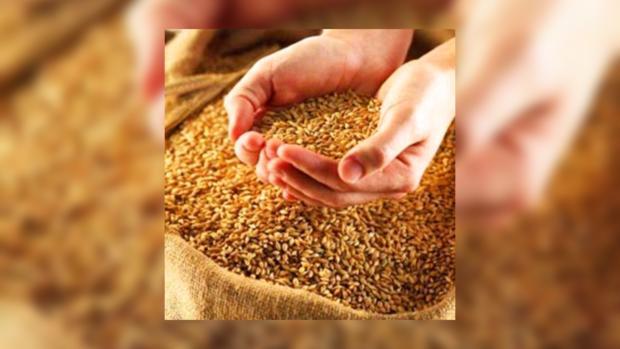 Урожай зерновых будет хорошим.