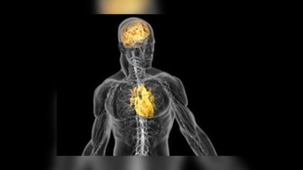 Сердце дает представление мозгу о теле