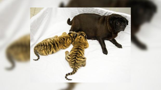 У тигрят – новые родители.