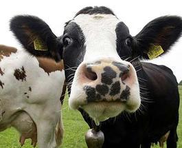 Получение метана из коровьих газов обеспечит процветание Аргентины?