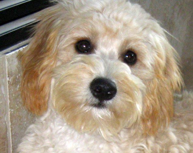 Чао чао собака фото цена щенка