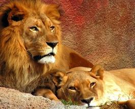 В Западной Африке почти полностью истребили львов