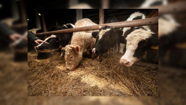 Народные приметы: на Власия полагалось кормить коров отборным кормом