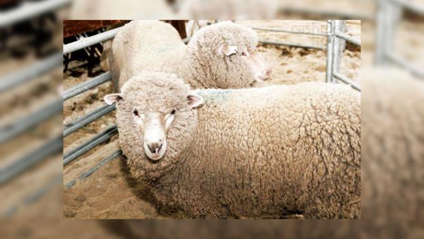 Народные приметы: на Овсима молились о здоровье овец