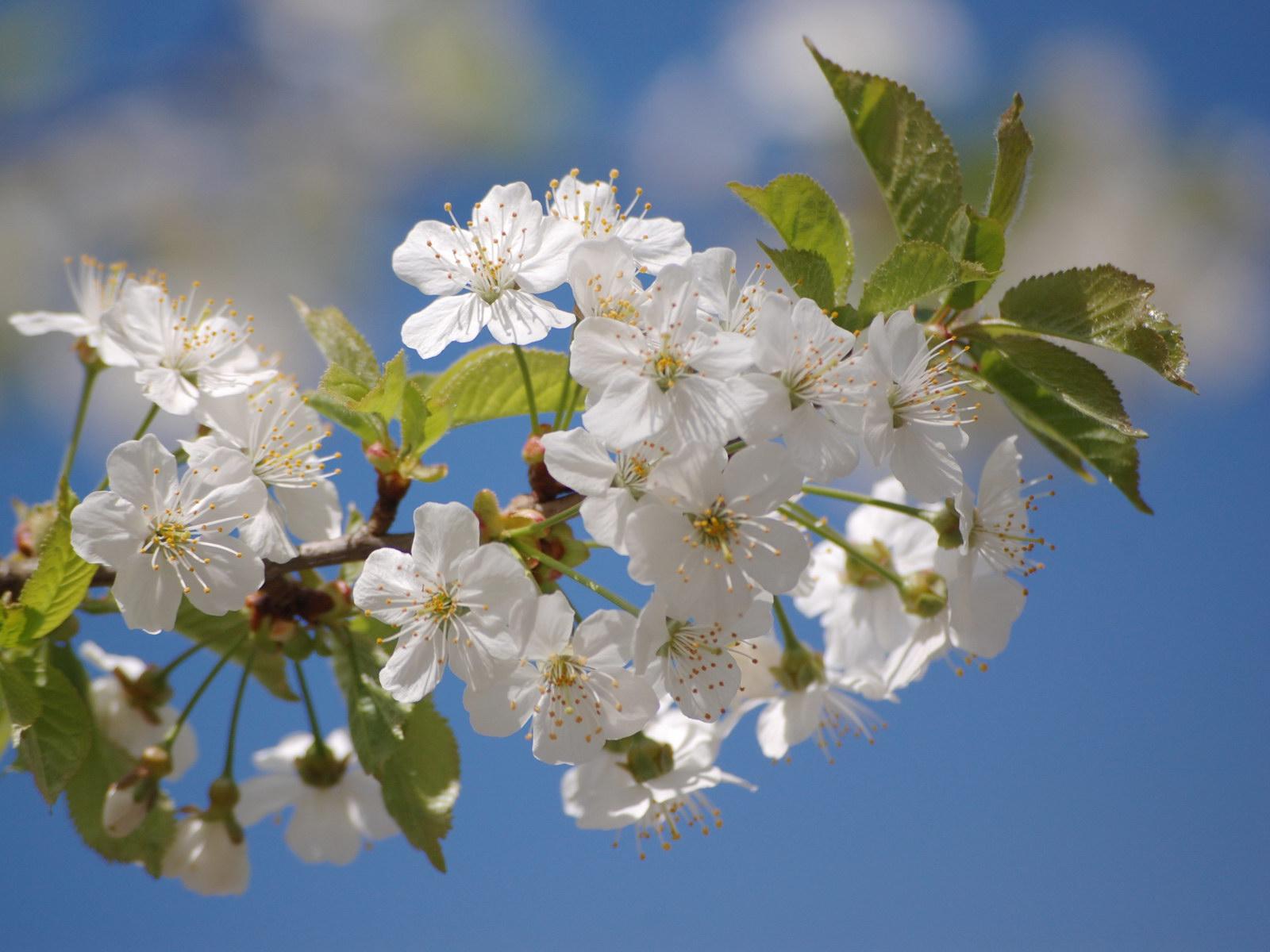 обои, к чему цветет яблоня осенью приметы толкования