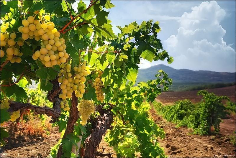 На Кубани в 2,5 раза увеличили субсидии на закладку виноградников