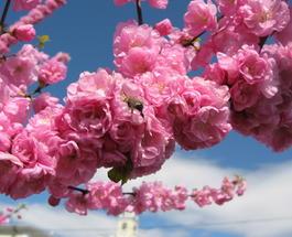 Японские сакуры расцвели в Ужгороде: полюбоваться совершенством едут сотни туристов