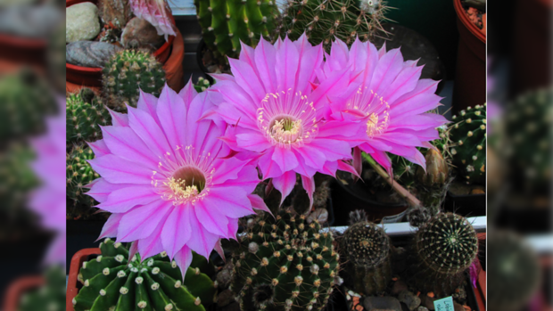 цветущие кактусы комнатные фото и название