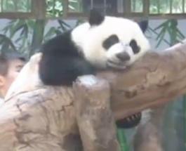 Интересное видео: тройня панд празднует свой первый год жизни