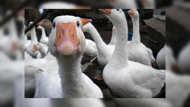 фото гусей смешные