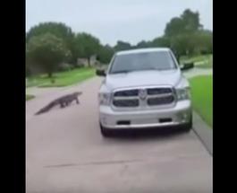 Смешно до ужаса: трехметровый аллигатор зашел в гости к жителям Лапласа, вежливо постучав в дверь