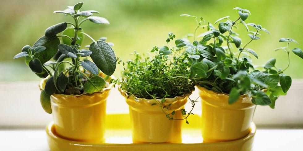 Домашние советы: как вырастить на подоконнике пряные травы -.