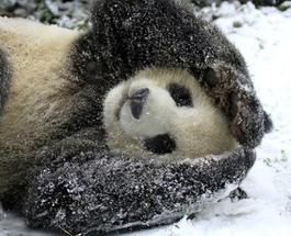 Единственное существо, которое радуется снежной буре в Вашингтоне: панда в зоопарке в восторге от снега