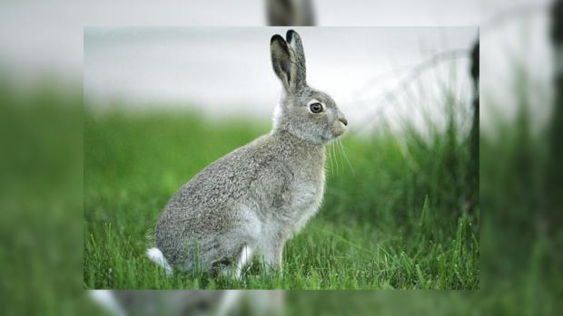 Кролики австралии