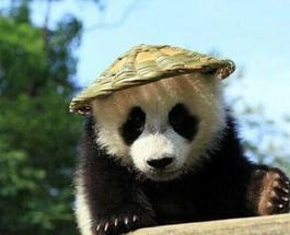 В Китае нашли реальную «Кунг-фу Панду»
