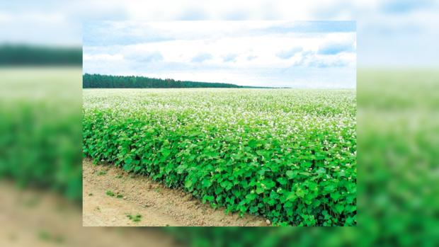 Гречиха посевная выращивание 11