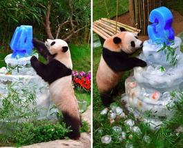 """""""Супружеская чета"""" панд Айбао и Лэбао весело отметили свои дни рождения"""