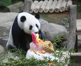Панда-именинница отметила свое десятилетие праздничным тортом
