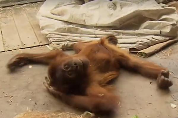 Взоопарке Австралии орангутан исполнил брейк-данс