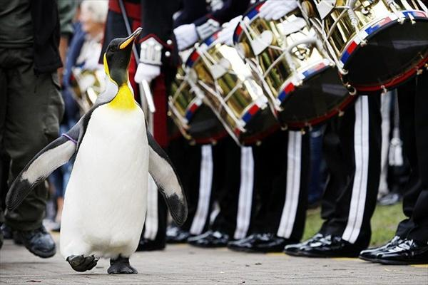 Бригадным генералом Королевской гвардии Норвегии стал пингвин изШотландии