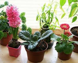 Как избавиться от мошек в цветочных горшках