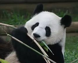 Самая старая панда Джа Джа навсегда уснула с помощью специального препарата