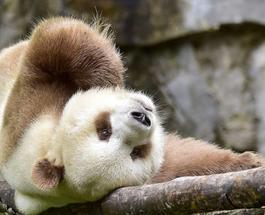 Забавные животные: познакомьтесь с единственной коричневой пандой в мире
