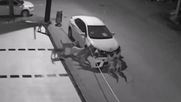 ВТурции бродячие собаки раскурочили машину