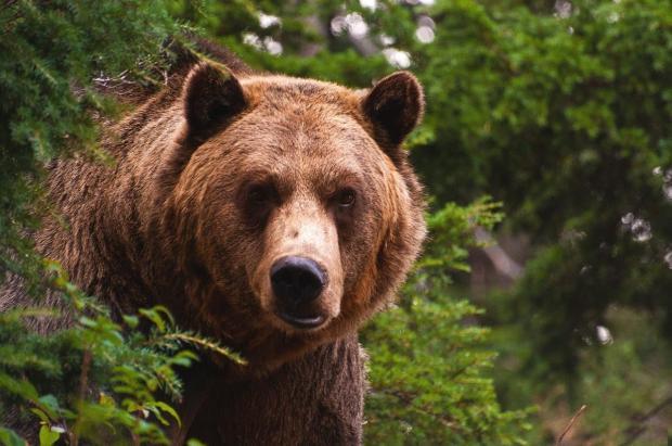 Наферме вяпонской префектуре Нагано медведь загрыз мужчину