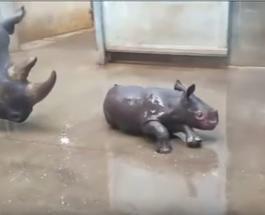 Купание маленького носорога: трогательные кадры из зоопарка в США