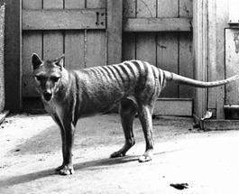 Невероятно, но факт: считавшийся вымершим тасманийский сумчатый тигр снят на видео