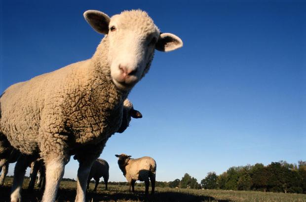 ВДагестане Mercedes протаранил отару овец