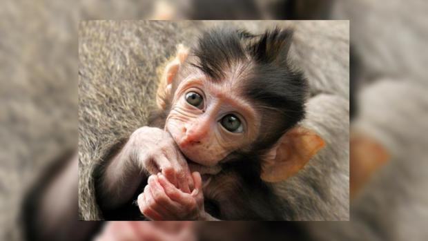 ВКитайской народной республике коза усыновила брошенную обезьянку