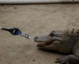 Необычный краш-тест iPhone 7 в пасти крокодила