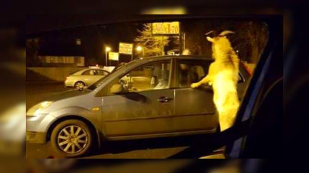 Агрессивный козел взял взаложники работников ирландского магазина