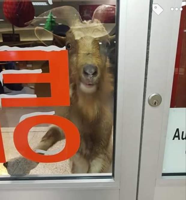 Разъяренный козел разогнал клиентов магазина вИрландии