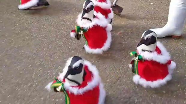 Парад пингвинов вкостюмах Санта Клауса стал «лучшим подарком всех времён»