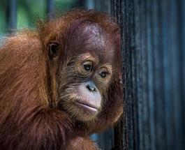 Забавное видео, как дикий орангутанг пилит лучше профессионалов плотников взорвало Интернет