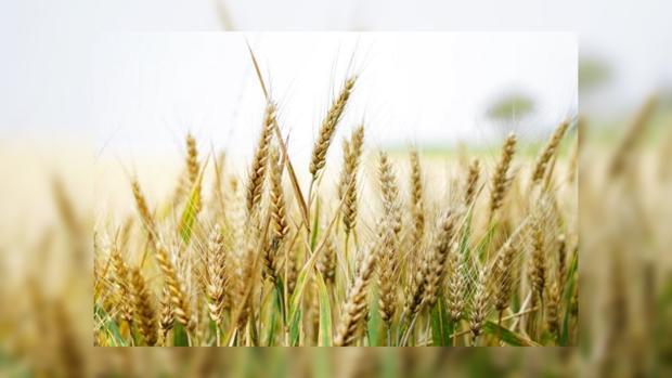 Украина в 2016-ом году собрала рекордный урожай зерновых