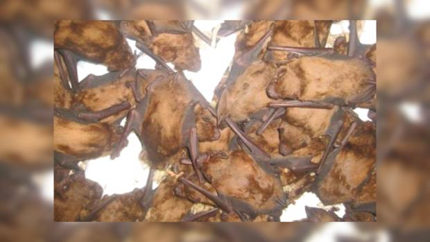 Запорожанка спасла иприютила 400 летучих мышей